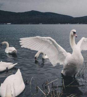 白天鹅图片唯美