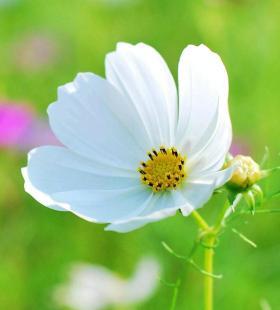 清新淡雅的白色秋英花唯美手机壁纸图片