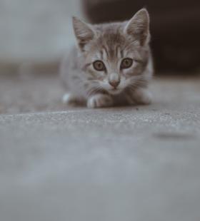 目光炯炯有神的小奶猫高清桌面壁纸图片