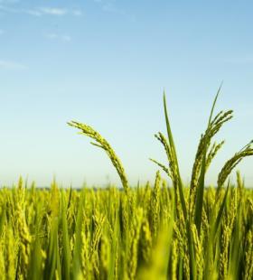 精选即将丰收的水稻图片大全