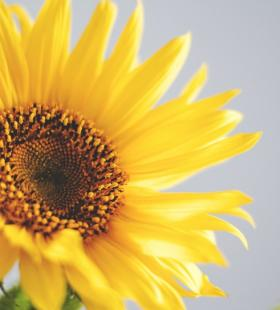 绽放中的向日葵晴空万里唯美壁纸图片