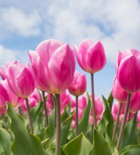 郁金香花海浪漫好看植物桌面壁纸图片