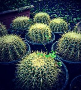 生命力顽强的仙人掌盆栽唯美高清图片