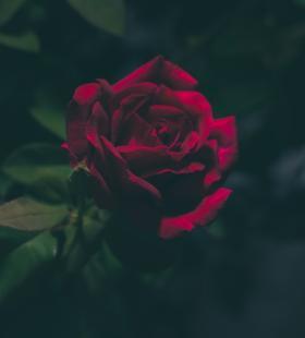娇艳欲滴的鲜红玫瑰唯美高清壁纸图片