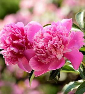 盛开的牡丹花优雅迷人高清壁纸图片大全