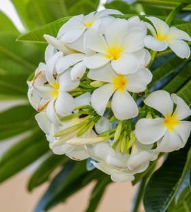 清新唯美淡雅好看的鸡蛋花风景植物壁纸图片