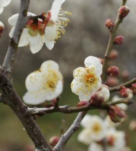 冬日枝头绽放的梅花桌面壁纸图片
