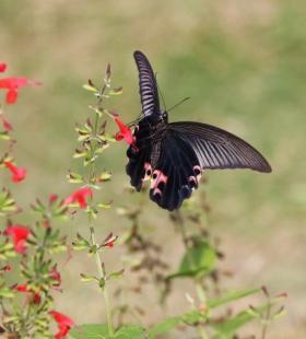 精选黑色的蝴蝶图片大全