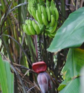 新鲜未采摘的青色香蕉高清壁纸图片