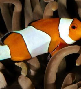 精选美美的小丑鱼图片大全