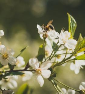 正在花朵上采蜜的小蜜蜂唯美风景桌面壁纸大全图片