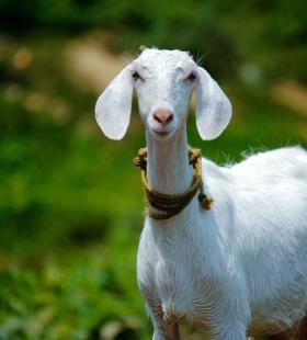 温顺可爱的羊高清桌面壁纸图片