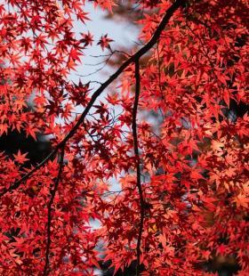 十一月深秋的枫叶唯美高清图片壁纸