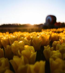 好看的黄色郁金香超美壁纸图片