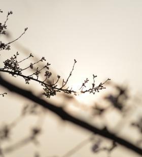 樱花的图片-高清美丽的樱花的图片大全