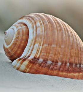 【海螺图片】好看形状各异的海螺图片大全