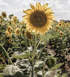 向日葵图片-精选美丽的向日葵图片大全