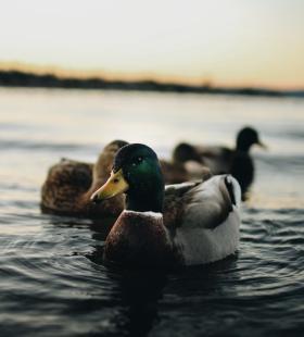 可爱的小鸭子高清2手机壁纸图片