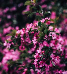 粉色花海养眼手机壁纸图片大全