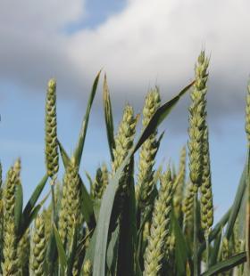 唯美绿色的小麦田风景高清壁纸图片