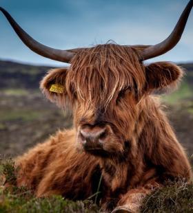 草原上的牛高清特写镜头手机壁纸大全图片