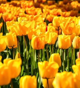 明亮美丽的黄色郁金香图片大全