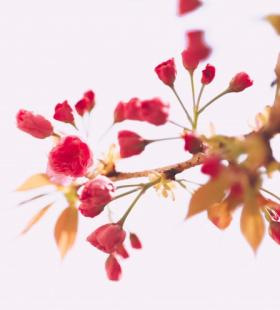 超美粉色樱花高清电脑桌面壁纸图片