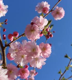 超美樱花高清风景唯美图片壁纸大全