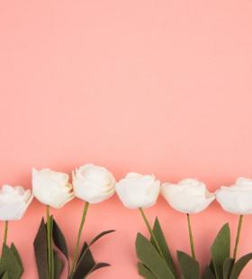 粉色背景下白色的月季花精选唯美花卉图片大全