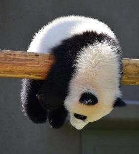呆萌小熊猫超可爱高清微信热门头像大全