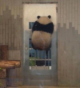 可爱的国宝熊猫呆萌微信头像图片大全