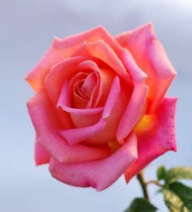 唯美不同色彩玫瑰话唯美高清图片合辑