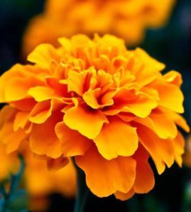 金盏菊色彩鲜艳唯美高清花卉图片