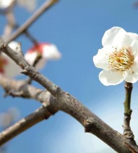 高清白色梅花唯美桌面壁纸图片