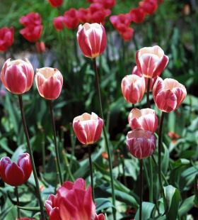 唯美满园郁金香高清花卉植物图片