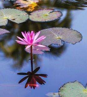水生草本花卉植物美丽的莲花图片