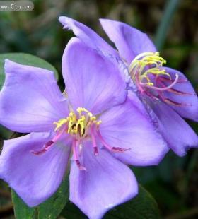 好看的紫色野牡丹欣赏图片